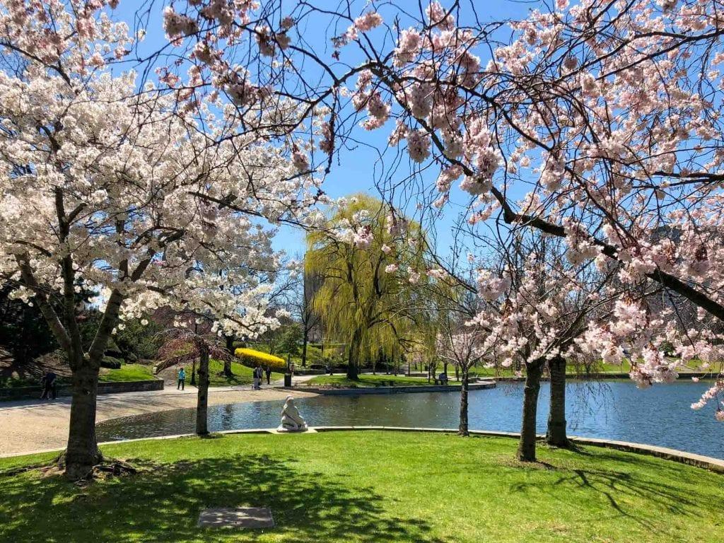 Cherry blossoms at Wade Lagoon