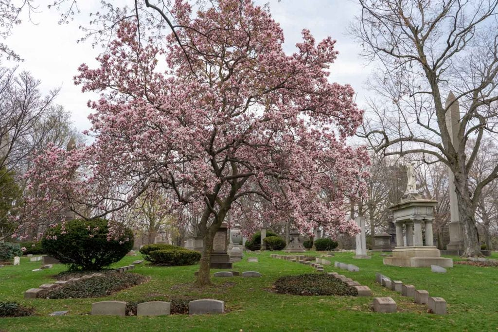 Blooming tree at Lake View Cemetery