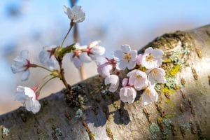 Cherry blossoms at Brookside Reservation