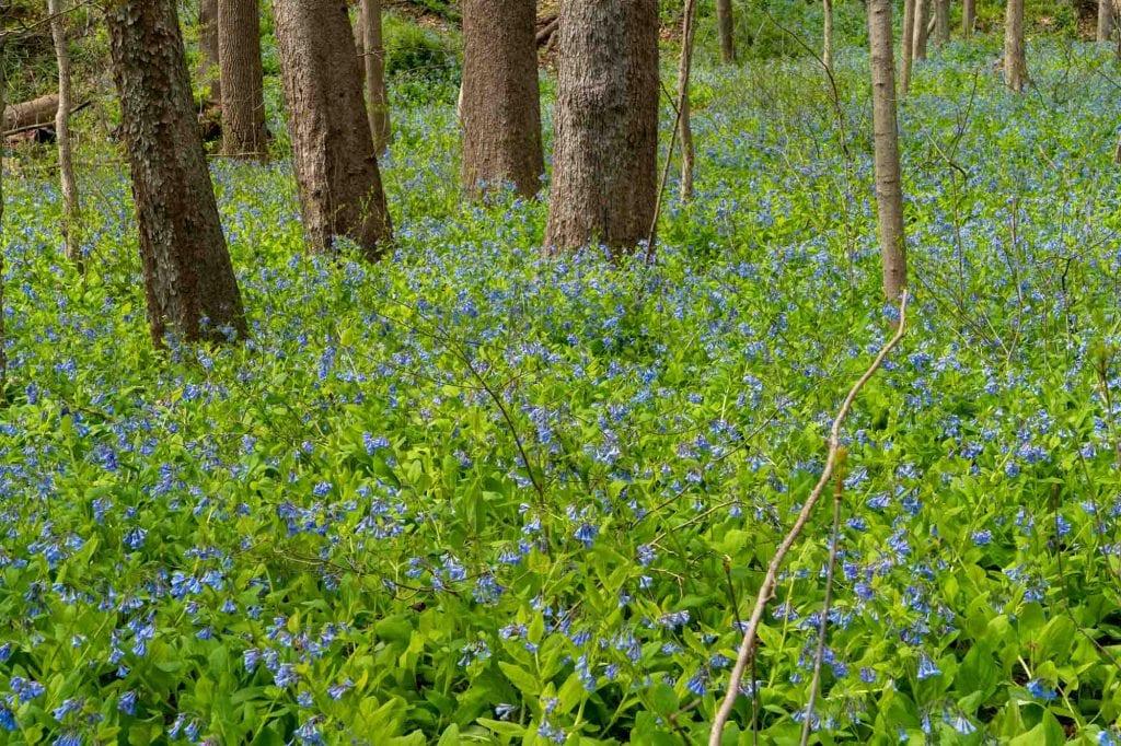 Virginia bluebells at Bedford Reservation