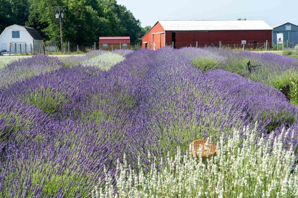 Luvin Lavender Farms display garden