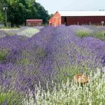 Visiting Luvin Lavender Farms: A Summertime Must-Do in Northeast Ohio