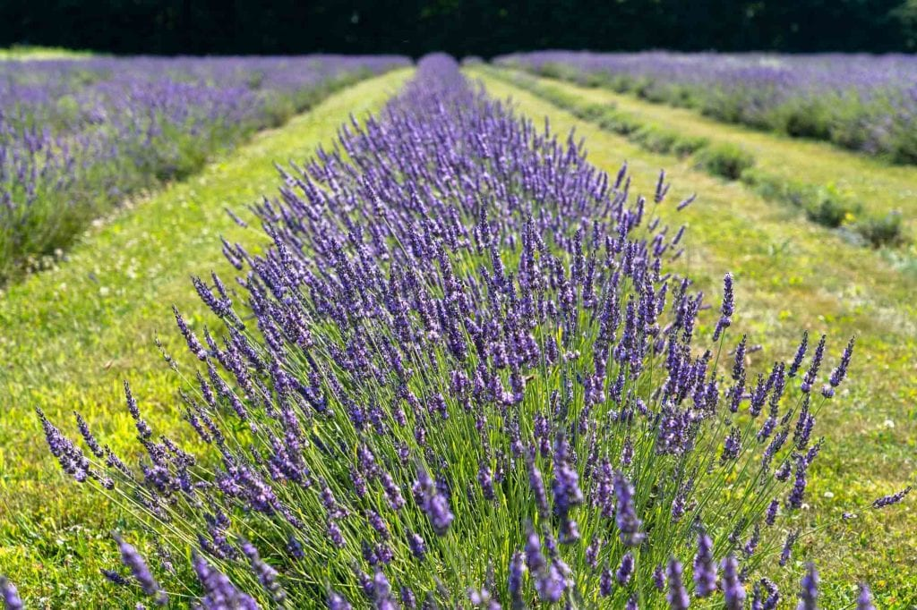 Luvin Lavender Farms