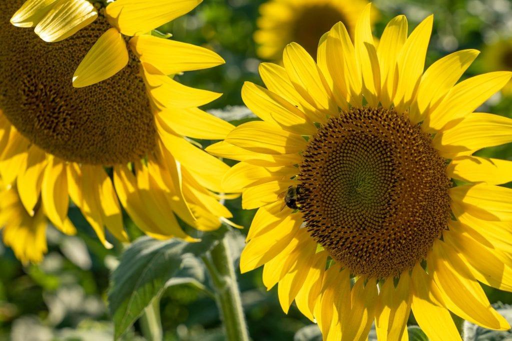 Sunflowers in Sandusky, Ohio