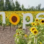 Maria's Field of Hope: Visit Sunflower Fields for a Good Cause Near Cleveland