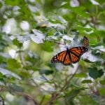How and Where to See Migrating Monarch Butterflies in Cleveland