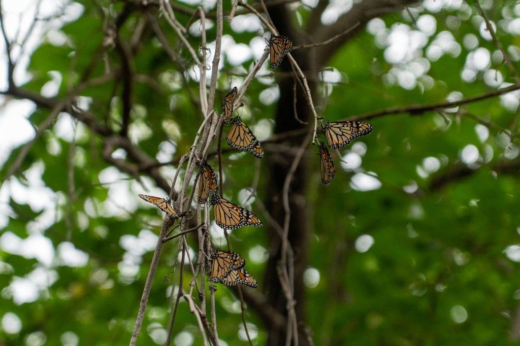 Monarch butterflies in Cleveland