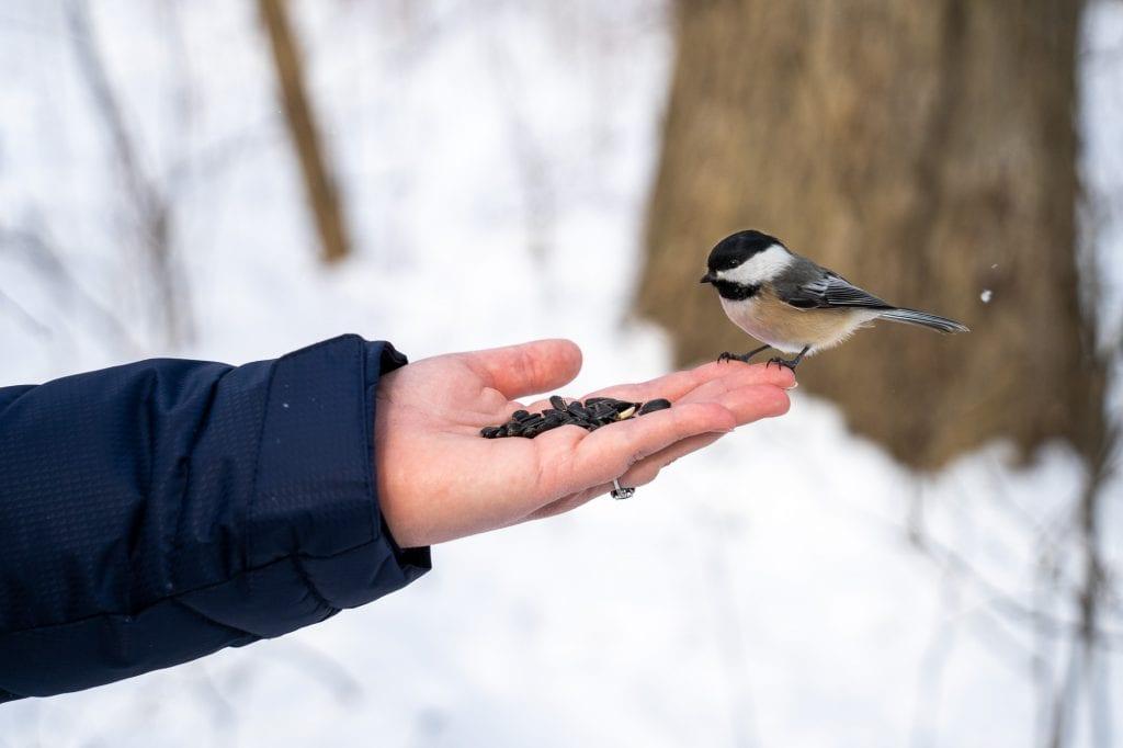 Chickadee siting on a hand