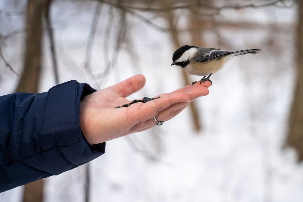 Chickadee landing in a hand
