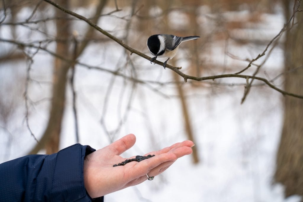Chickadee on a branch over a hand