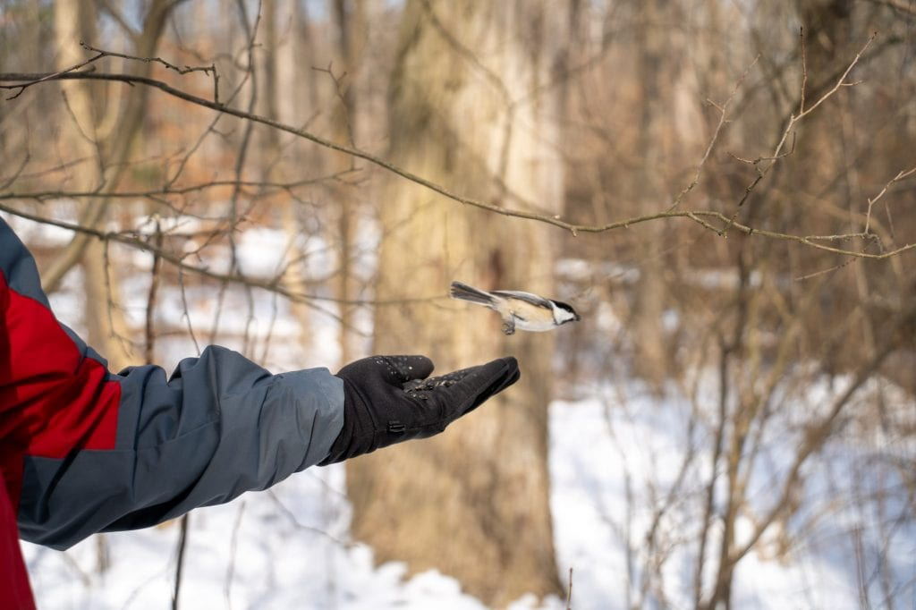Chickadee flying out of hand