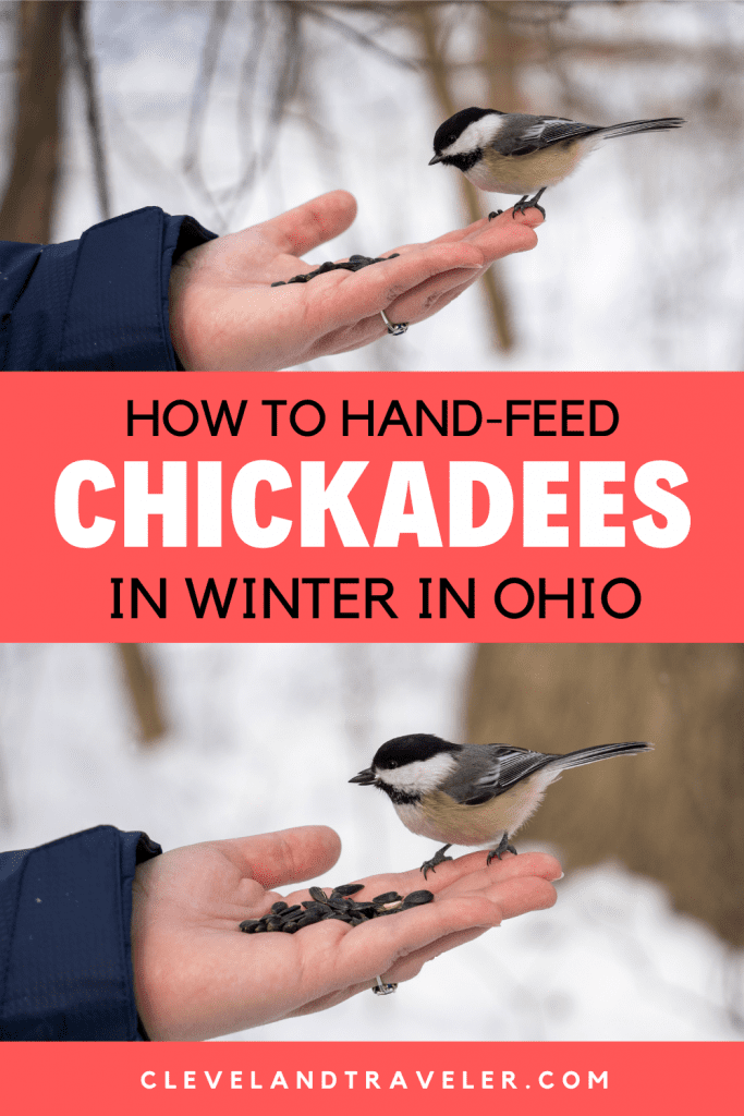 How to hand-feed chickadees in Ohio
