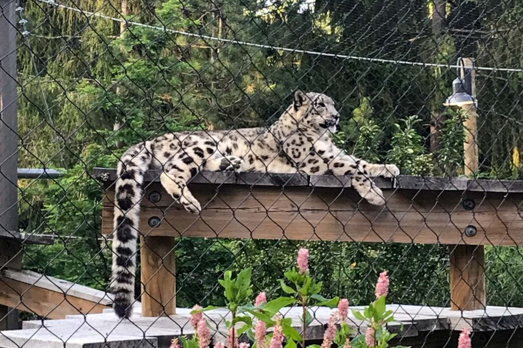 Snow leopard at the Cleveland Zoo